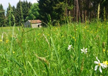 Prati fioriti narcisi Lentiai